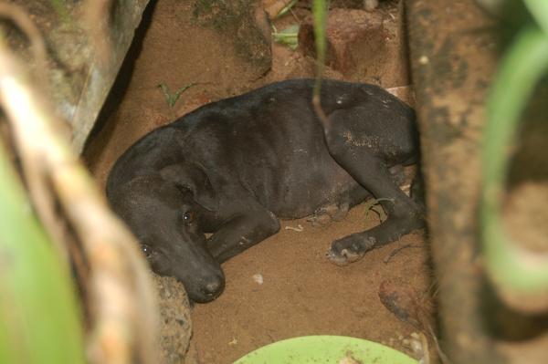 verletzter Hund auf Sri Lanka