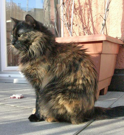 FIV-Katze Faramee stammt aus einer Strassenkatzekolonie, wo sie mit FIV infiziert wurde. Sie wird von den Tierärzten auf heute 8 bis 9 Jahre geschätzt. Seit gut 5 Jahren lebt sie als Wohnungskatze mit derzeit 5 anderen Katzen (FIV-negativ und -positiv gemischt) in ihrem endgültigen Zuhause und war in der Zeit nicht ein einziges Mal krank.